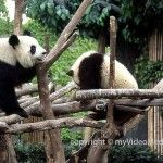Grosse Pandas in Chengdu