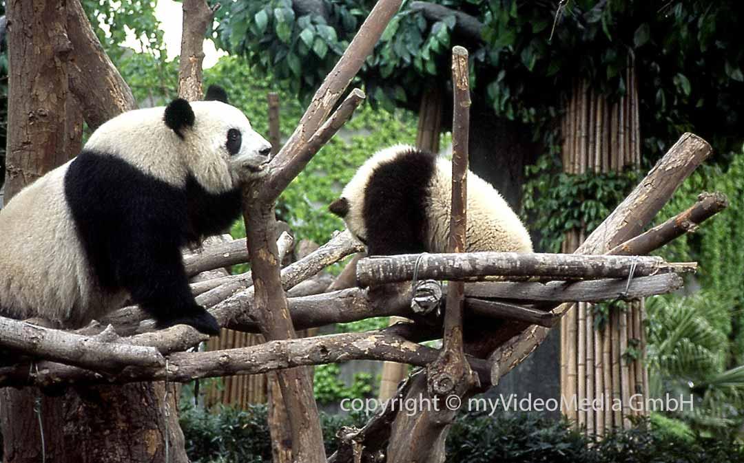 Giant Panda -Chengdu
