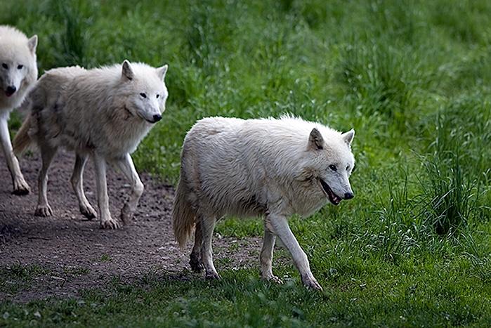 Artic Wolves Herbersten