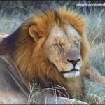 Lion Park Johannesburg – Southafrica