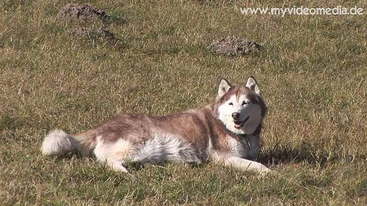 Husky in Zuers - Vorarlberg
