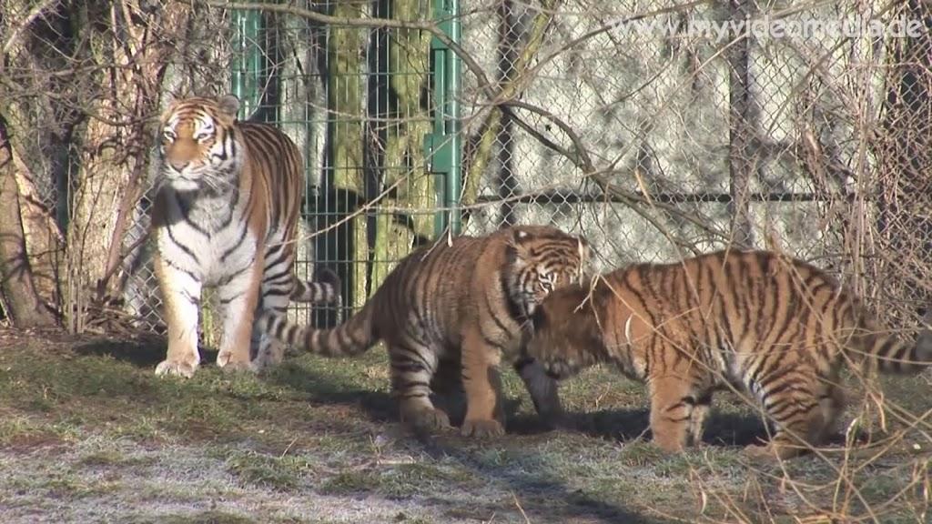 Siberian Tigers Hellabrunn