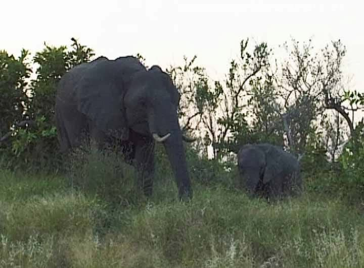 Kruger National Park- elephant cow with cub