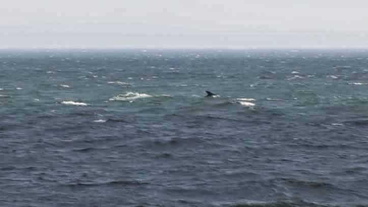 Tadoussac Whale