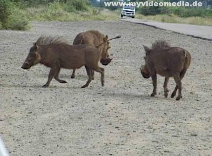 Wild boar in Kruger National Park