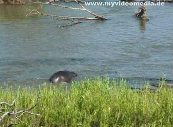 Hippo in Krueger National Park
