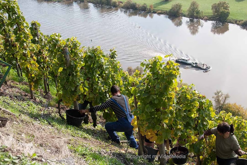 Viticulture - Vintage on the moselle