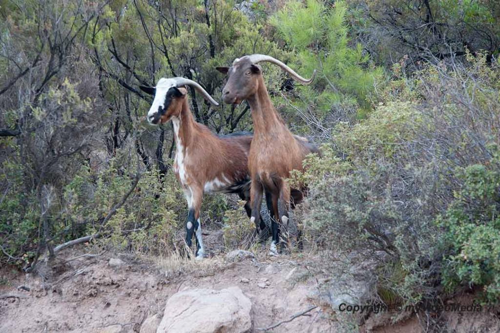 Methana goats