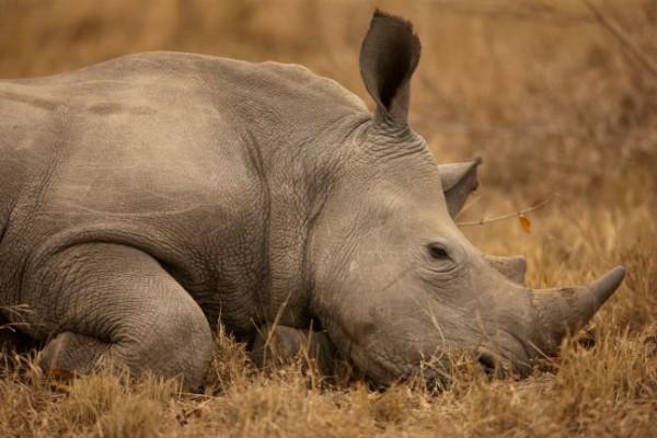 Rhino-down-Beverly-Joubert