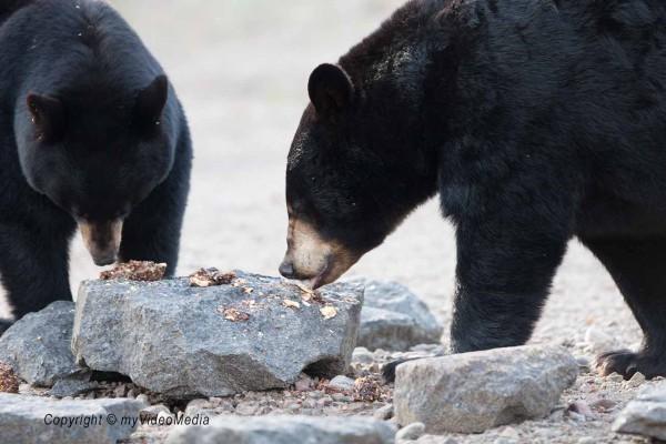 Black Bears Canada