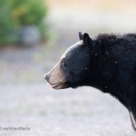 Black Bears fighting in Laurentides National Park