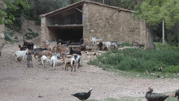 goats and turkeys