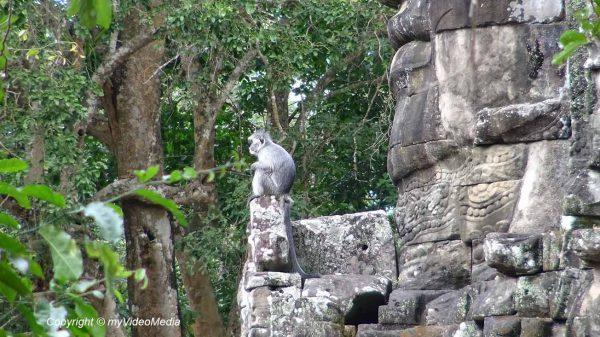 Gibbon Angkor Thom