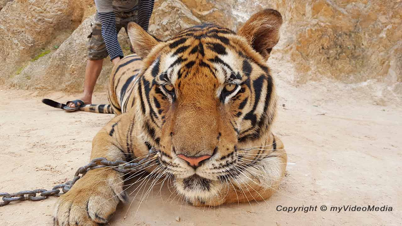 Tiger Temple Thailand
