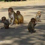 Rhesus monkeys near Wat Tham Pha Mak Ho