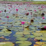 Udon Thani – Country life and the Red Lotus Lake
