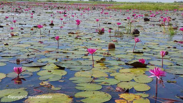 See der roten Lotusblüten