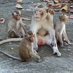 Thai Monkey Forest in Phana