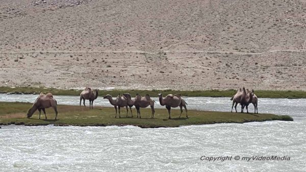 Camels in Pamir