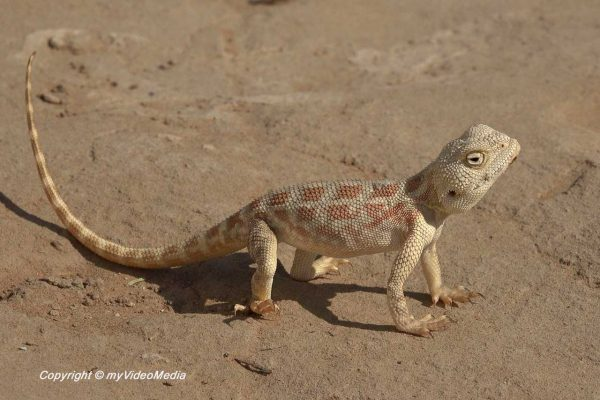 Middle Eastern agamid lizard