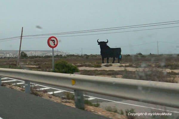 Osborne bull