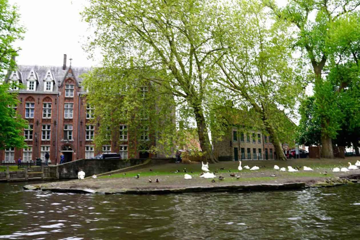 Swans of Maximilian