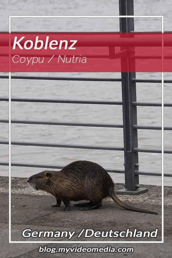 Nutria (Coypu) in Koblenz