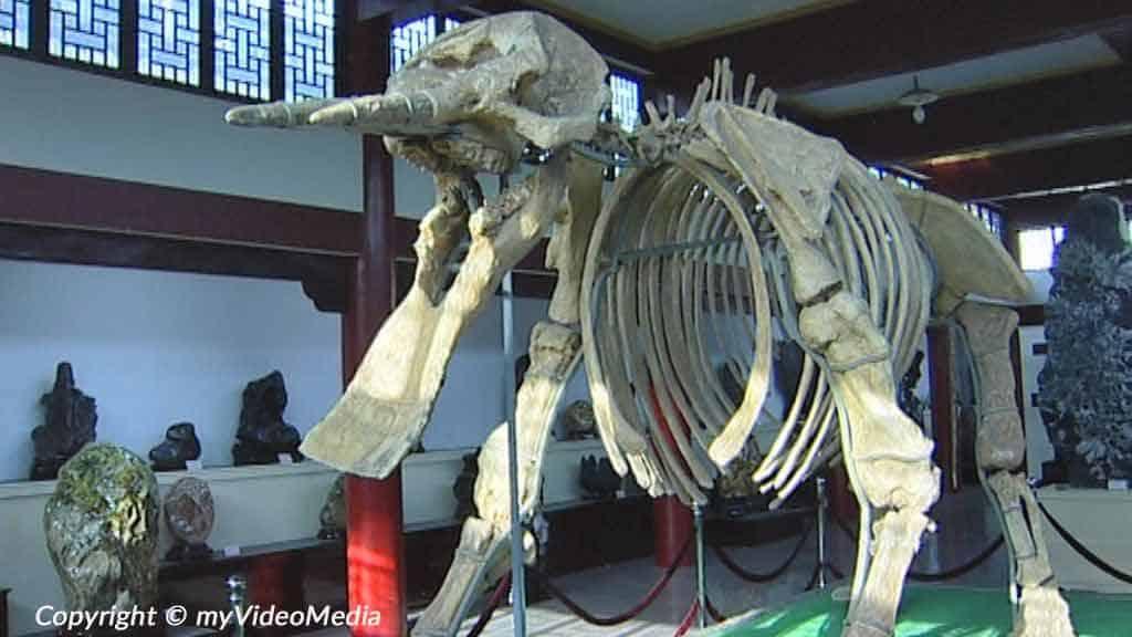Skelett eines Platybelodon