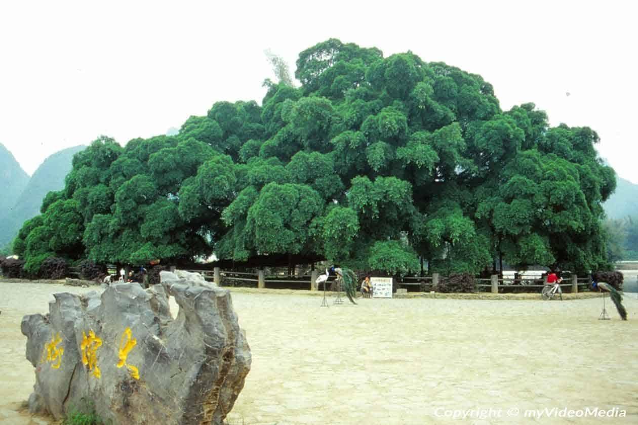 große Banyan Baum in Yangshuo