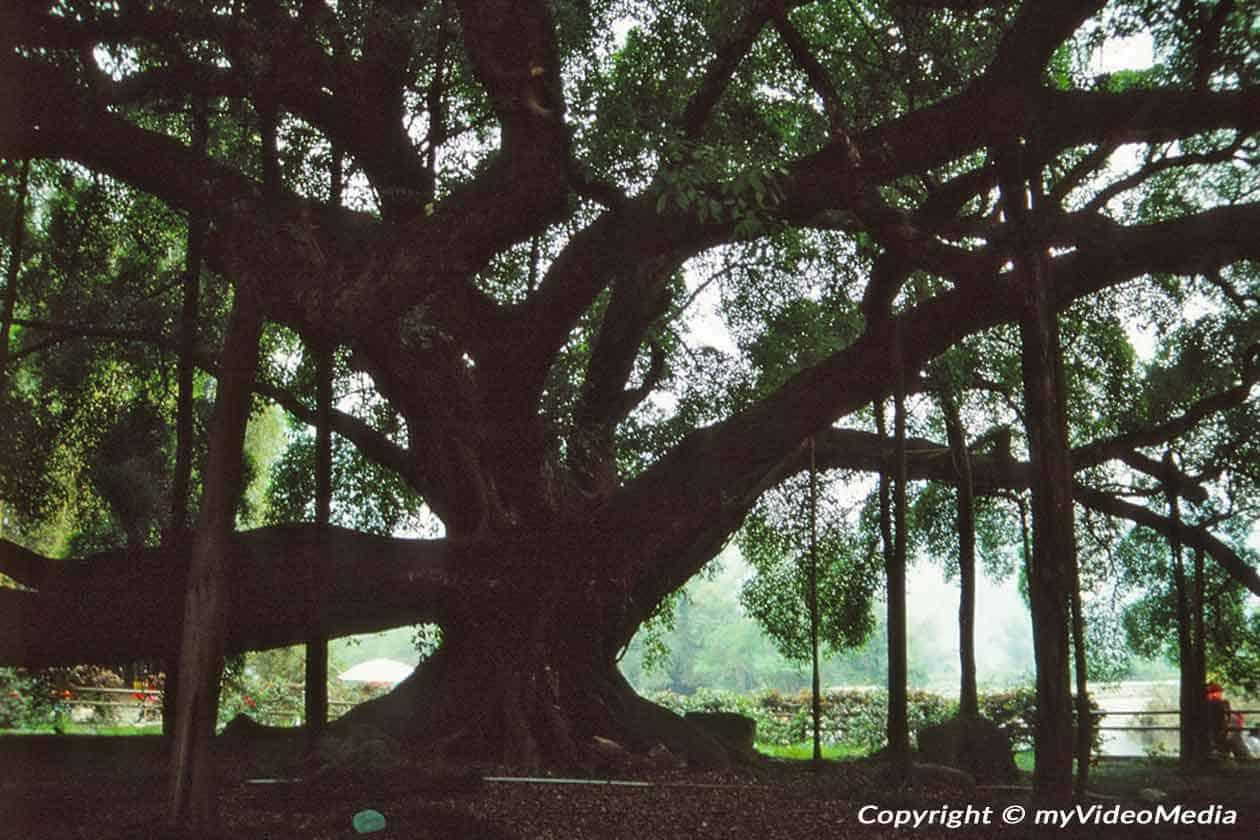 Großer Banyan Baum Yangshuo